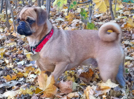 Harley the Puggle Pictures 770481