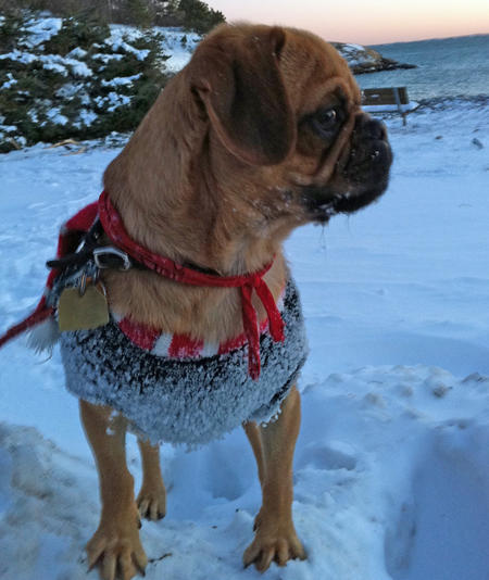 Harley the Puggle Pictures 770476