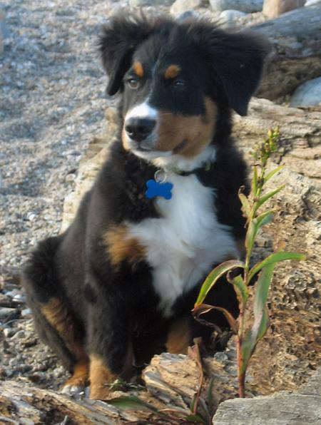 Harper the Bernese Mountain Dog Pictures 477055