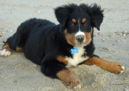 Harper the Bernese Mountain Dog Pictures 477056