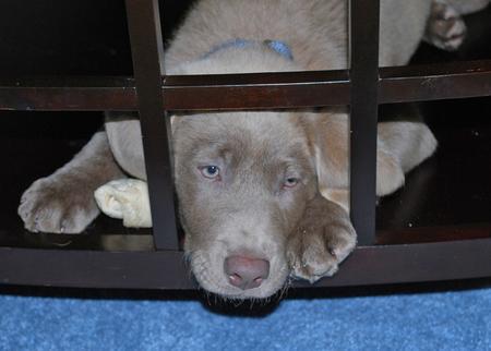 Harper the Labrador Retriever Pictures 472397
