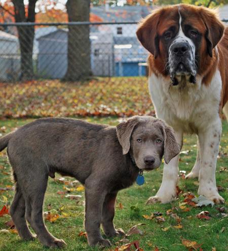 Harper the Labrador Retriever Pictures 472400