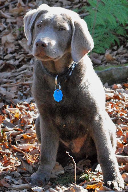 Harper the Labrador Retriever Pictures 472403