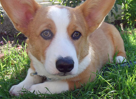 Harrison the Pembroke Welsh Corgi Pictures 845754