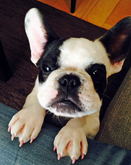 Harvey Dent the French Bulldog Pictures 991094