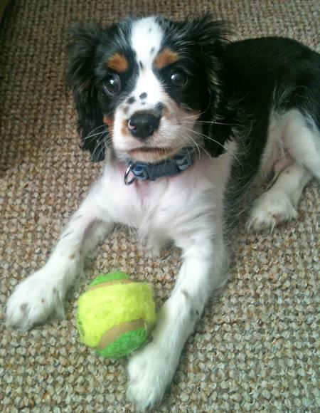Harvey the Cavalier King Charles Spaniel Pictures 979461