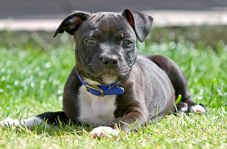 Harvey the Staffordshire Bull Terrier Pictures 693761