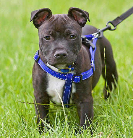 Harvey the Staffordshire Bull Terrier Pictures 693764