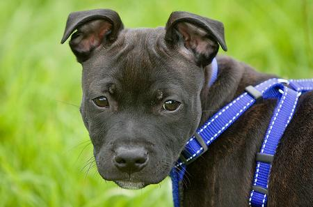 Harvey the Staffordshire Bull Terrier Pictures 693765