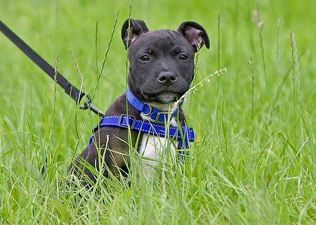Harvey the Staffordshire Bull Terrier Pictures 693766