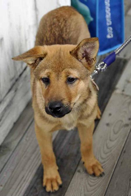 Hashi the Shiba Inu Mix Pictures 987629