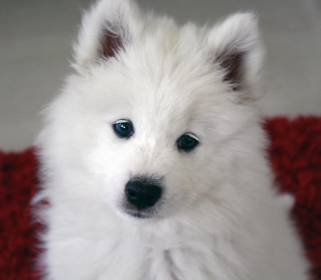 Haven the Samoyed Pictures 596756