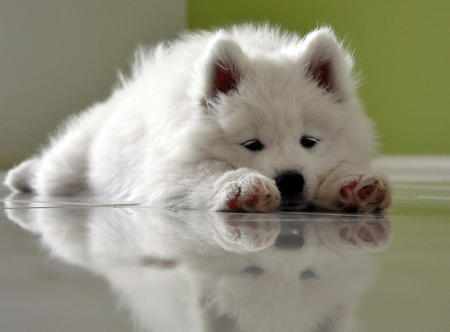 Haven the Samoyed Pictures 596758