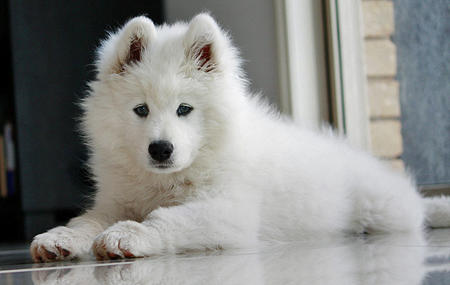 Haven the Samoyed Pictures 596751