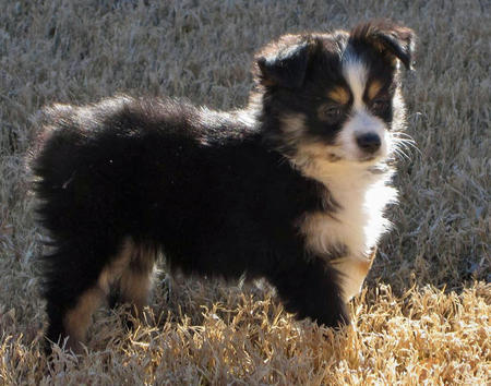 Hazel the Australian Shepherd Pictures 504284