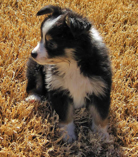 Hazel the Australian Shepherd Pictures 504285