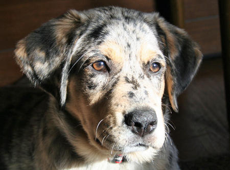 Hazel the Australian Shepherd Mix Pictures 784073