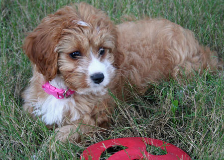 Hazel the Poodle Mix Pictures 494073