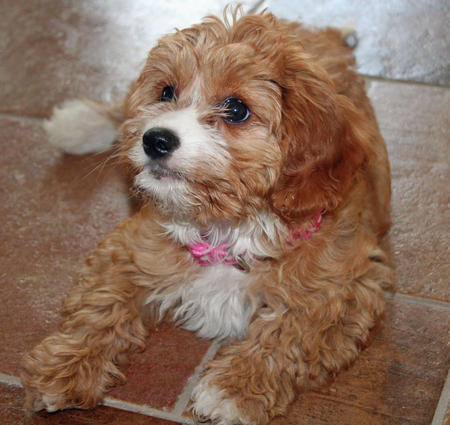 Hazel the Poodle Mix Pictures 494074