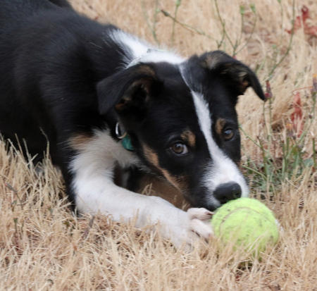 Hedwig the Border Collie Pictures 1043491