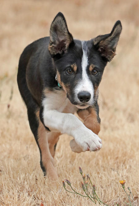 Hedwig the Border Collie Pictures 1043493