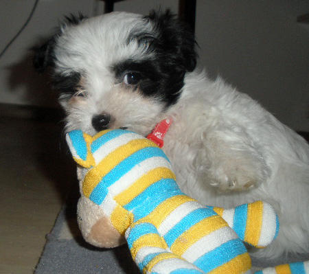 Heidi the Havanese Pictures 787873