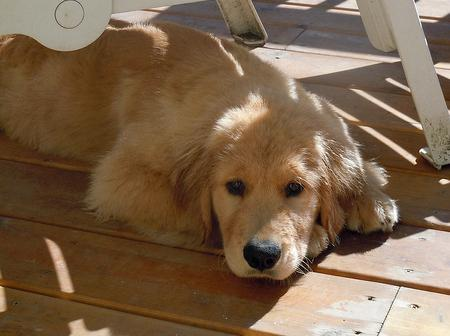Helios the Golden Retriever Pictures 1048116
