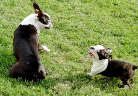 Helo the Boston Terrier Pictures 936142