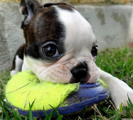 Helo the Boston Terrier Pictures 936145