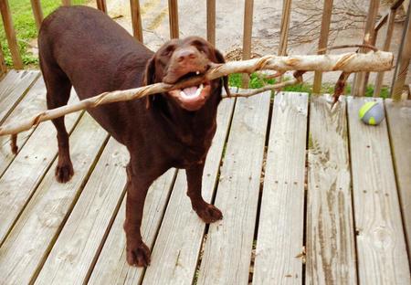 Henley the Labrador Retriever Pictures 1058301