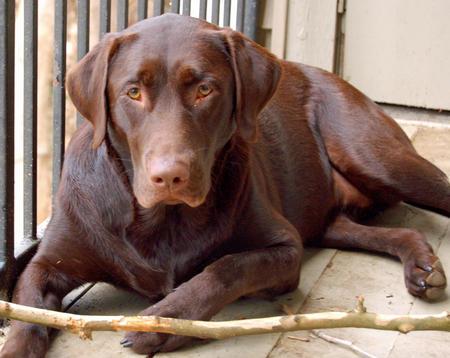 Henley the Labrador Retriever Pictures 1058302