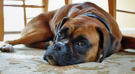 Henry the Boxer Pictures 548953