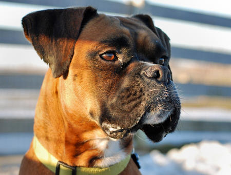 Henry the Boxer Pictures 548959