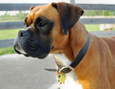 Henry the Boxer Pictures 548952