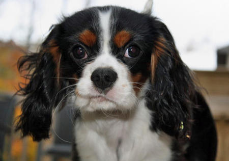 Henry the Cavalier King Charles Spaniel Pictures 457113