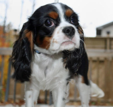 Henry the Cavalier King Charles Spaniel Pictures 457114