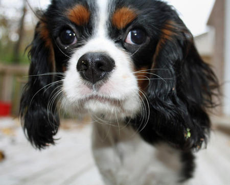 Henry the Cavalier King Charles Spaniel Pictures 457115