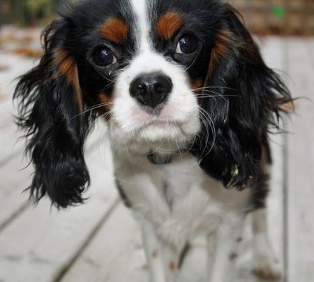 Henry the Cavalier King Charles Spaniel Pictures 457118
