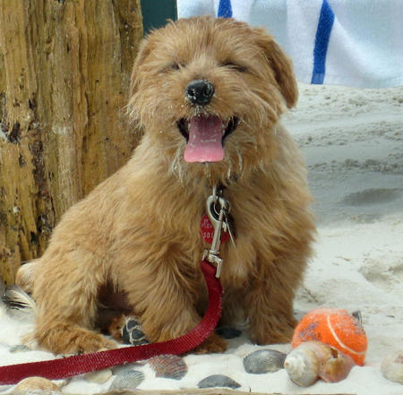 Henry the Norfolk Terrier Pictures 568948