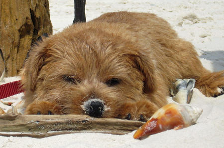 Henry the Norfolk Terrier Pictures 568949