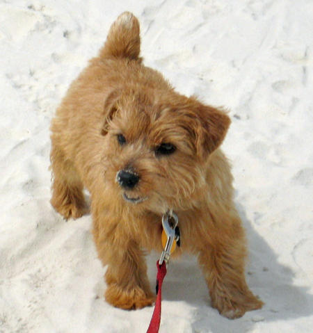 Henry the Norfolk Terrier Pictures 568950