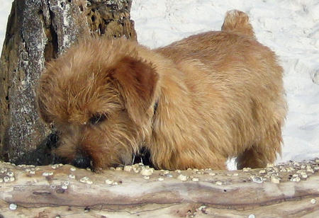 Henry the Norfolk Terrier Pictures 568951
