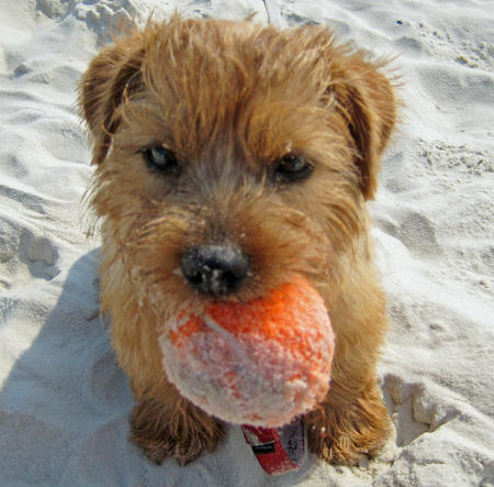 Henry the Norfolk Terrier Pictures 568953