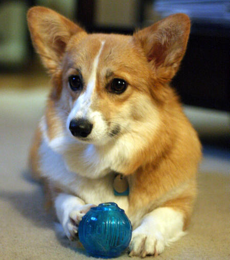 Herbie the Pembroke Welsh Corgi Pictures 757320