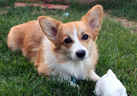 Herbie the Pembroke Welsh Corgi Pictures 757323