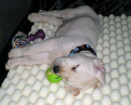Hercules the Labrador Retriever Pictures 924289