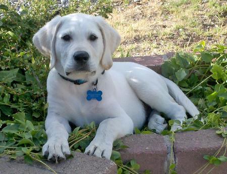 Hercules the Labrador Retriever Pictures 924292