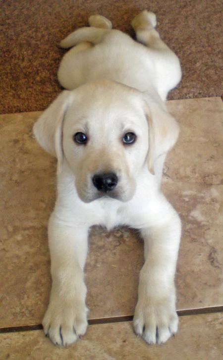 yellow lab dog - photo #42