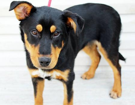 Hershey the Adoptable Mixed Breed Pictures 1008770