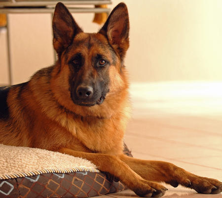 Hexi the German Shepherd Pictures 521258